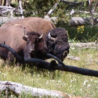 Tatanka na Pte (A bull and a cow buffalo)
